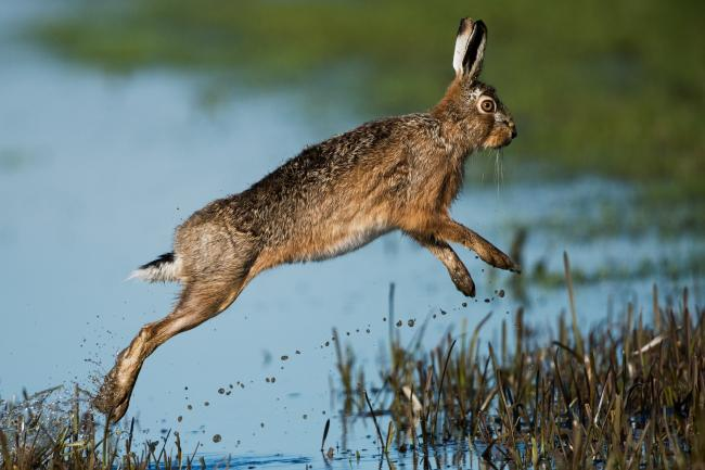 Hare coursing rises in the summer and autumn. Picture: CLA