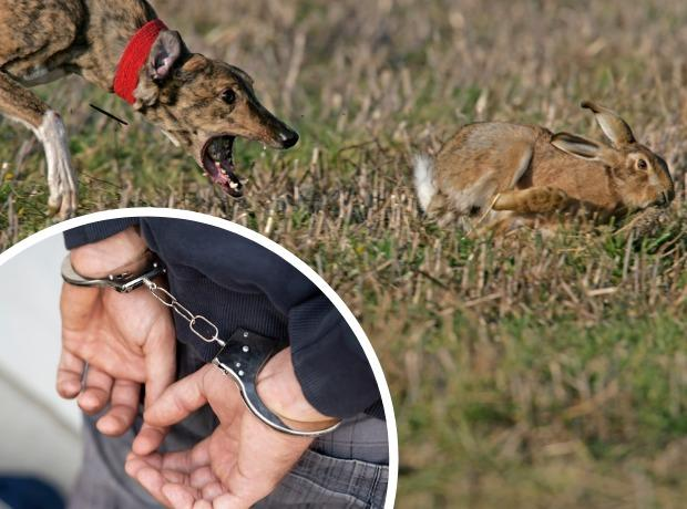 Hare coursing and arrest montage, stock images