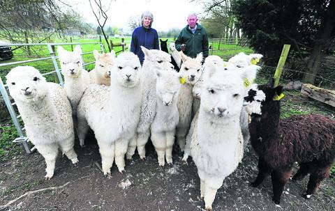 Kate and Mike Coghlan, of Blenheim Alpacas, with some of their herd of the Andean animals