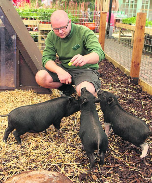 Peter Strange with some of the micro pigs