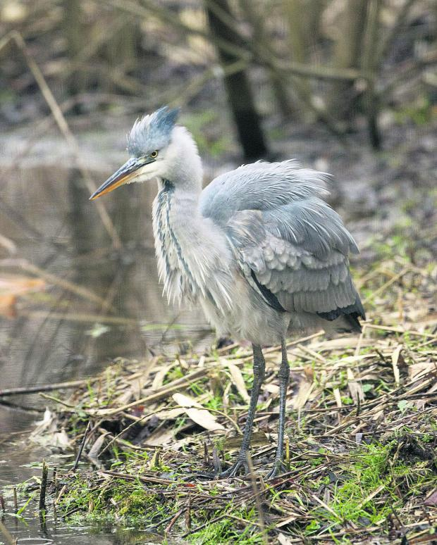 Herald Series: Beady eyes focused, the heron watches intently