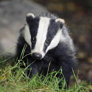 Policing costs for the badger cull were way over the estimate