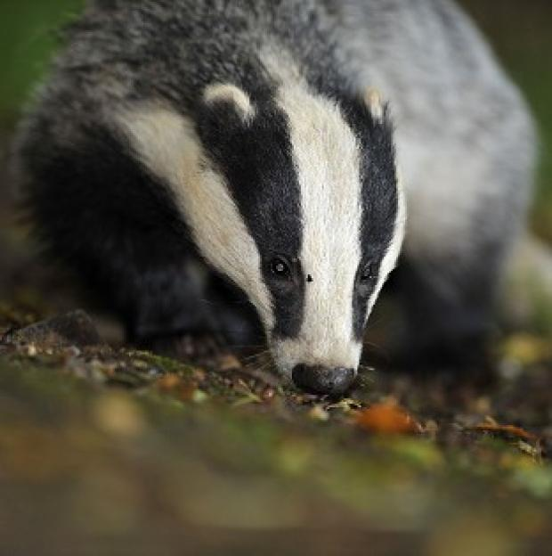 Herald Series: Campaigners have questioned claims that badger-culling trials were a success