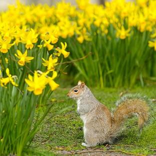Herald Series: A grey squirrel forages amongst spring daffodils in St James' Park, central London
