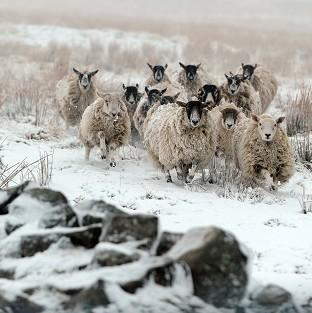 Herald Series: Sheep walk through snow at Nenthead on the Cumbria and Northumberland border
