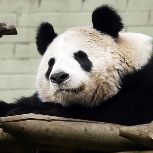 Herald Series: Experts at Edinburgh Zoo say female panda Tian Tian will soon be ready to mate