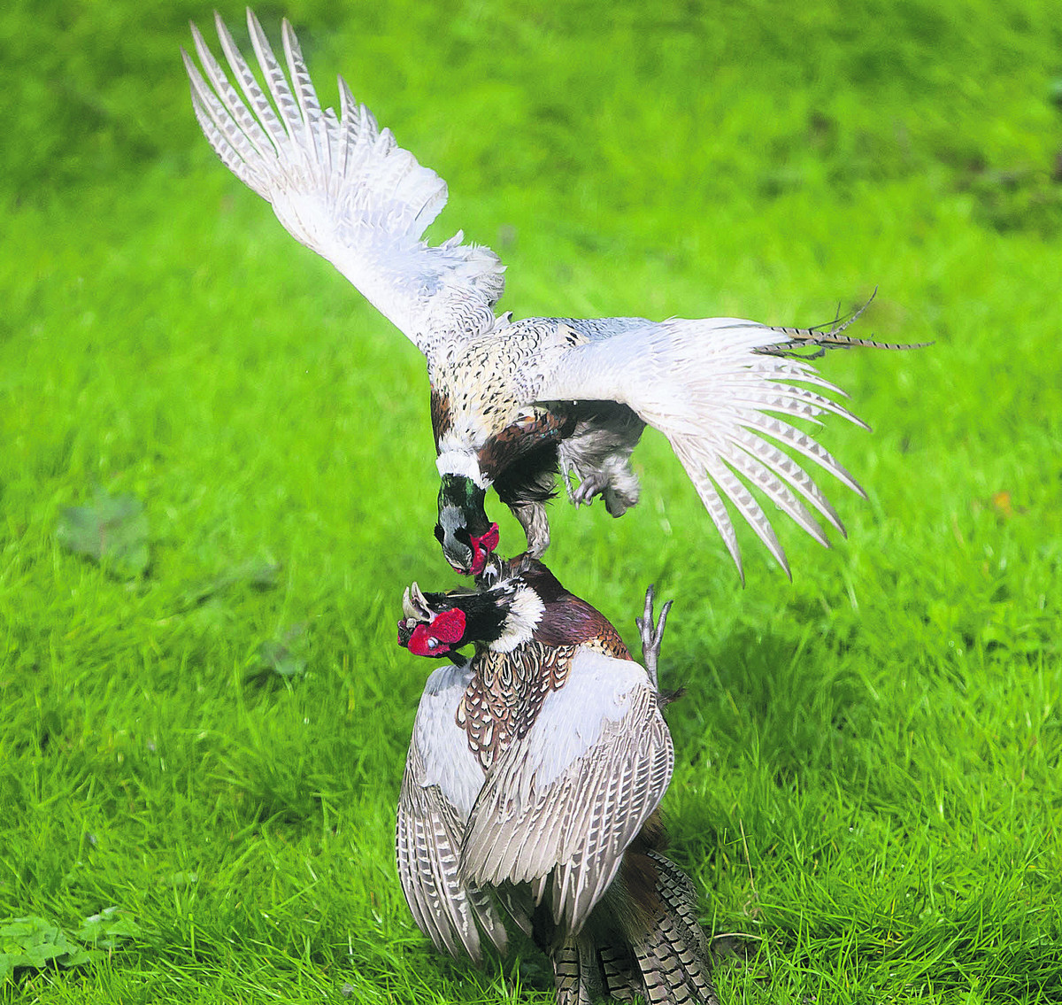 Pheasants fight