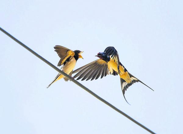 Lucky rare sighting of swallow feeding its young