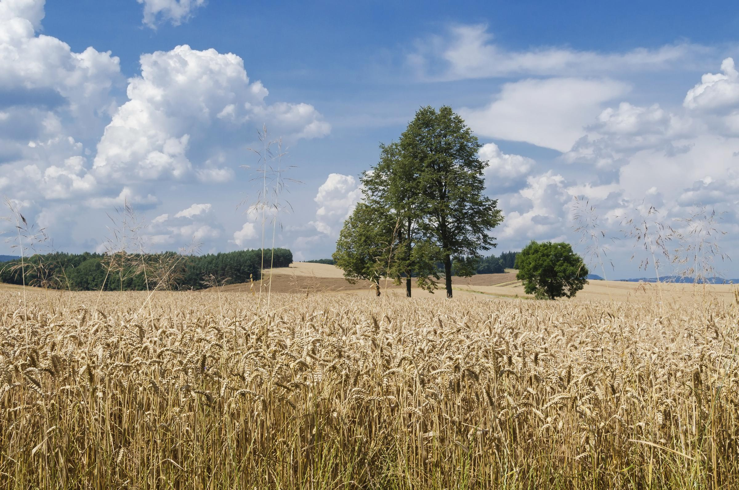 Wheat field file photo. Picture: Jacek Halicki