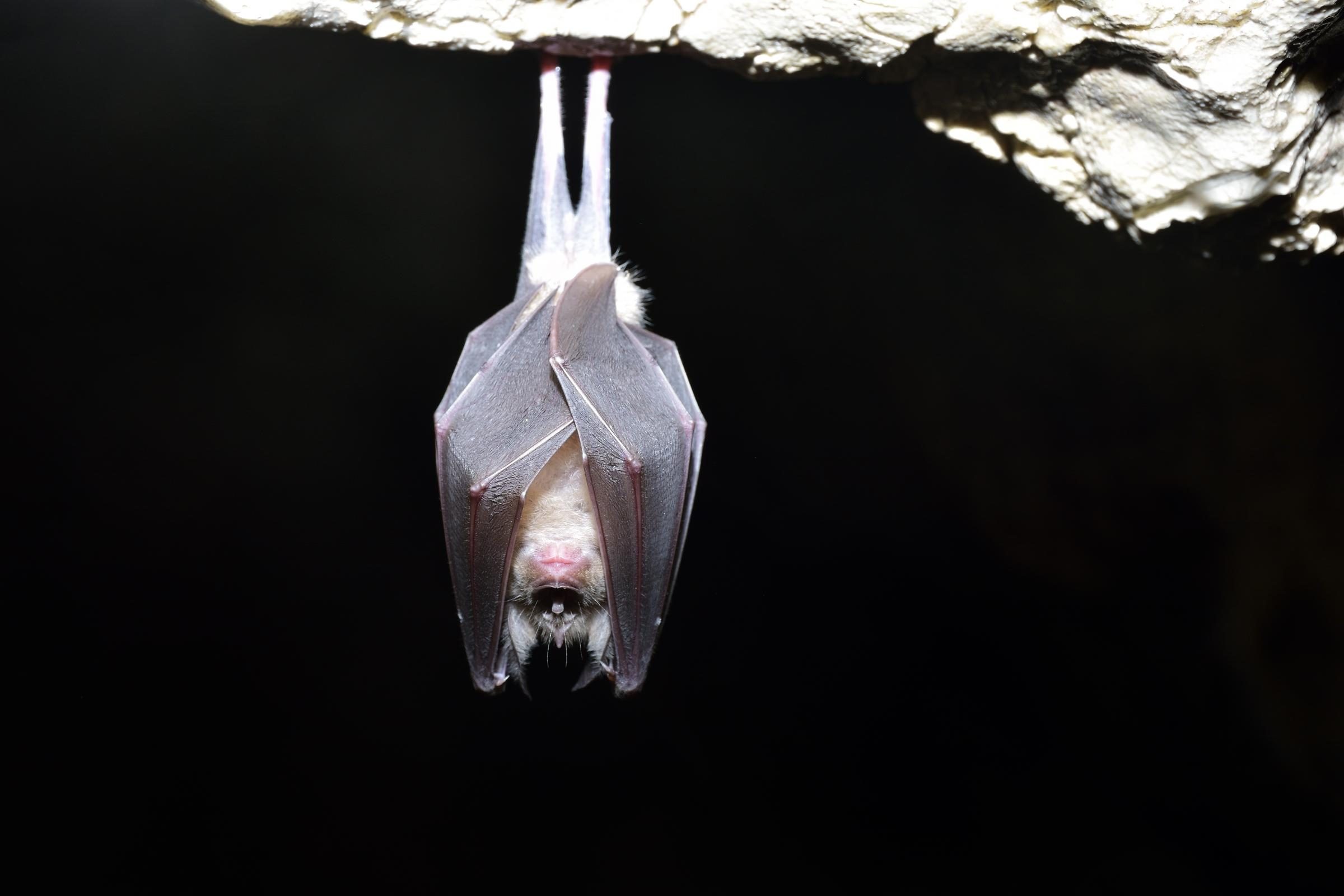 Greater horseshoe bat( Rhinolophus ferrumequinum).