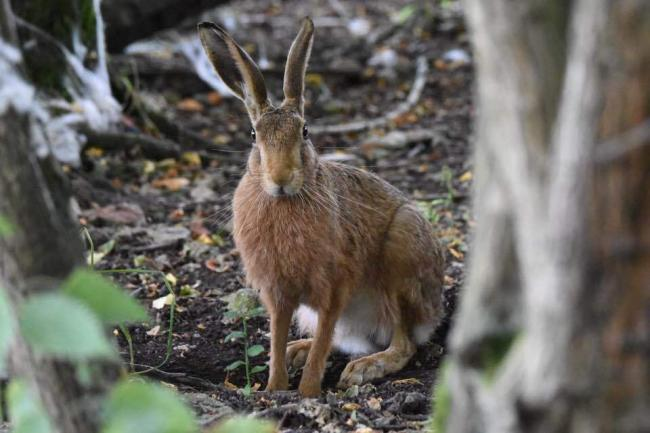 Hare at Wytham Woods by Duncan Becker